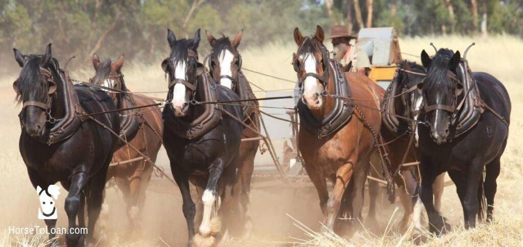 Australian Draught Horse Tall