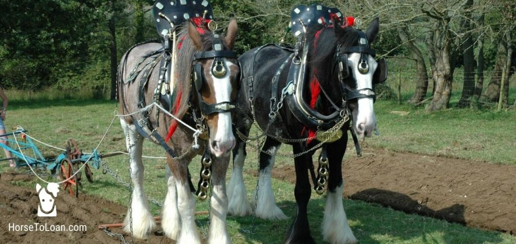 shire horse breed tall