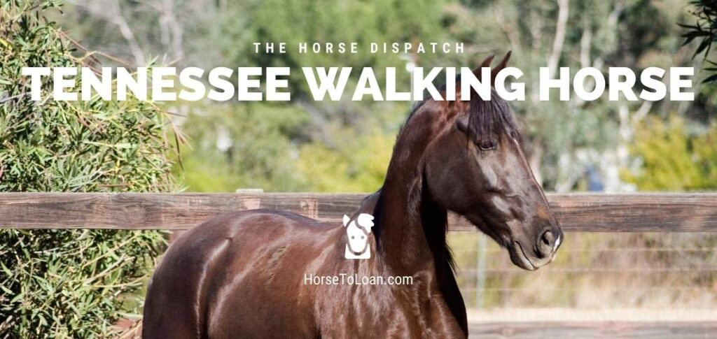 Tennessee Walking horse breed calmest