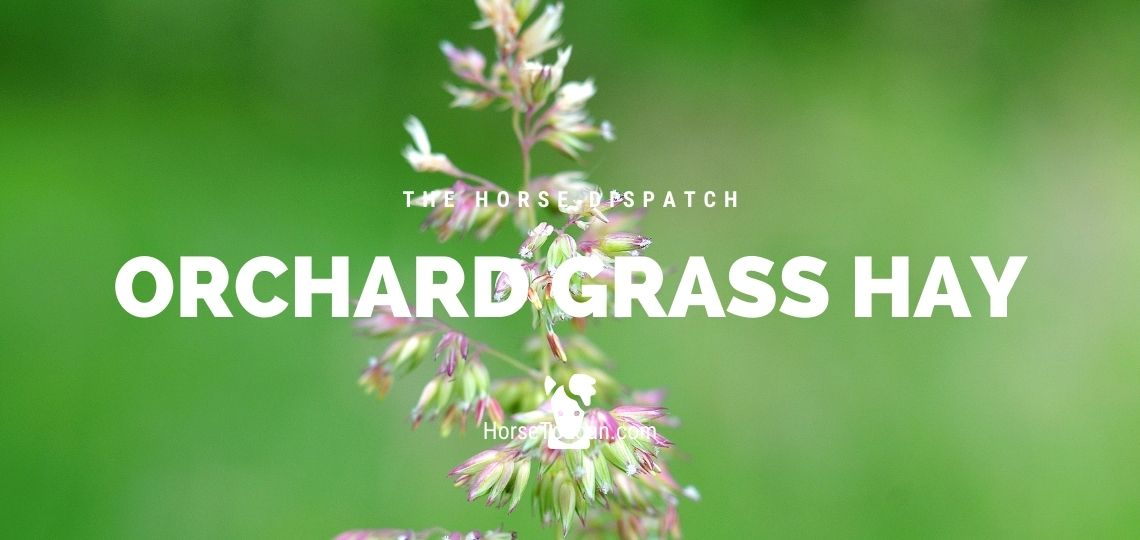 Orchard Grass Hay for Horses