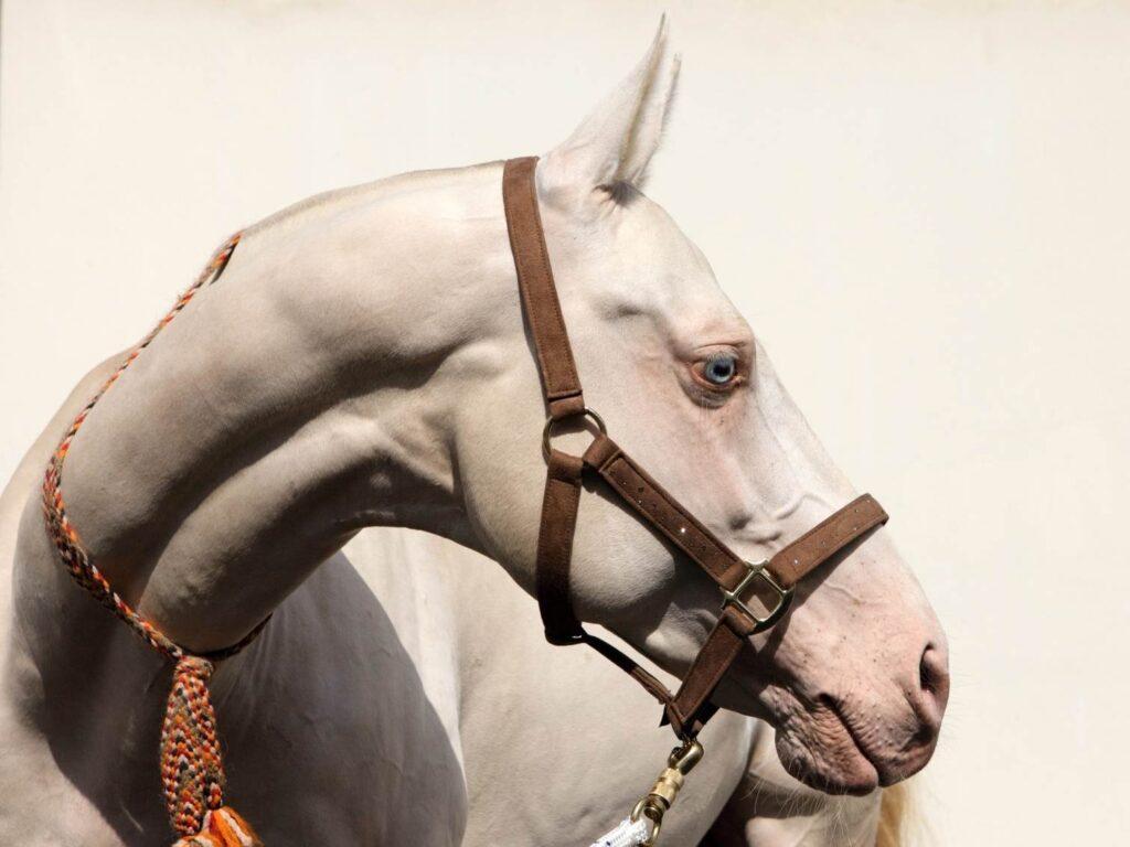 The Cremello Horse