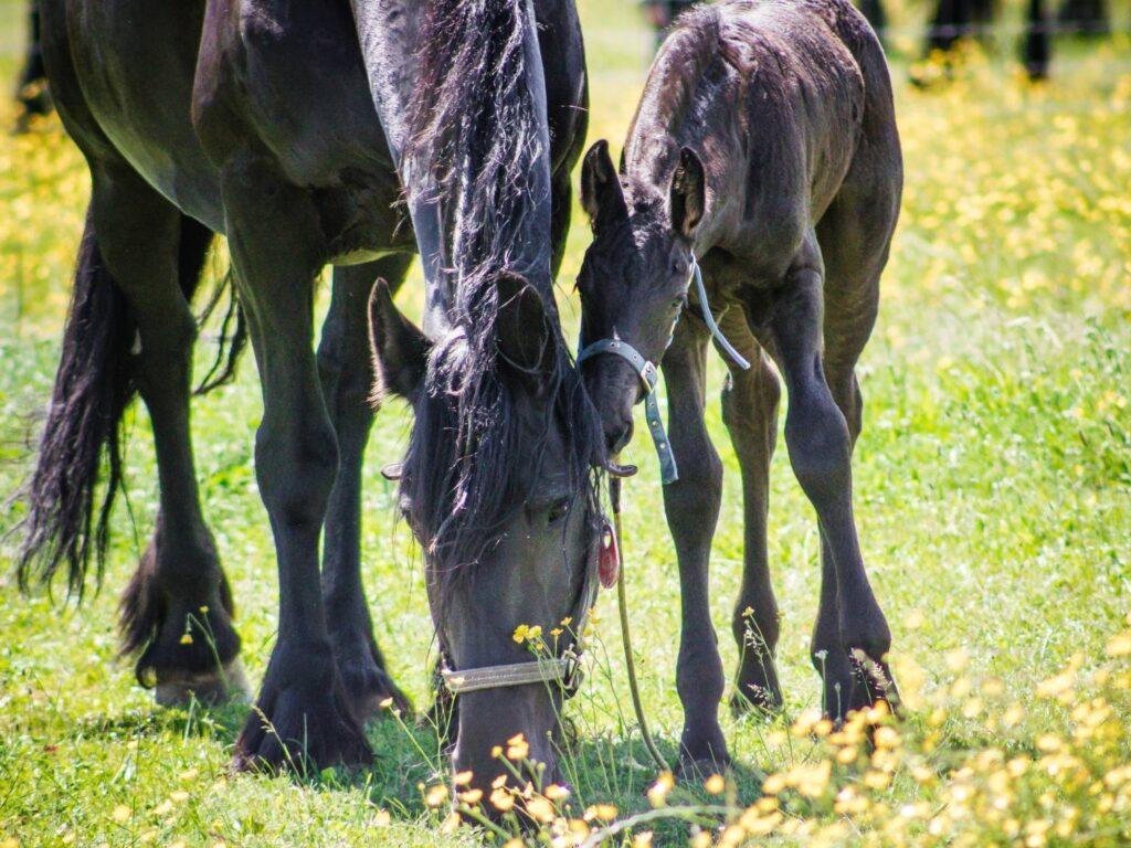 The friesian Horse