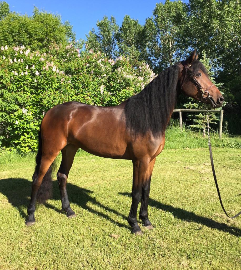 Friesian Sport Horse Belle