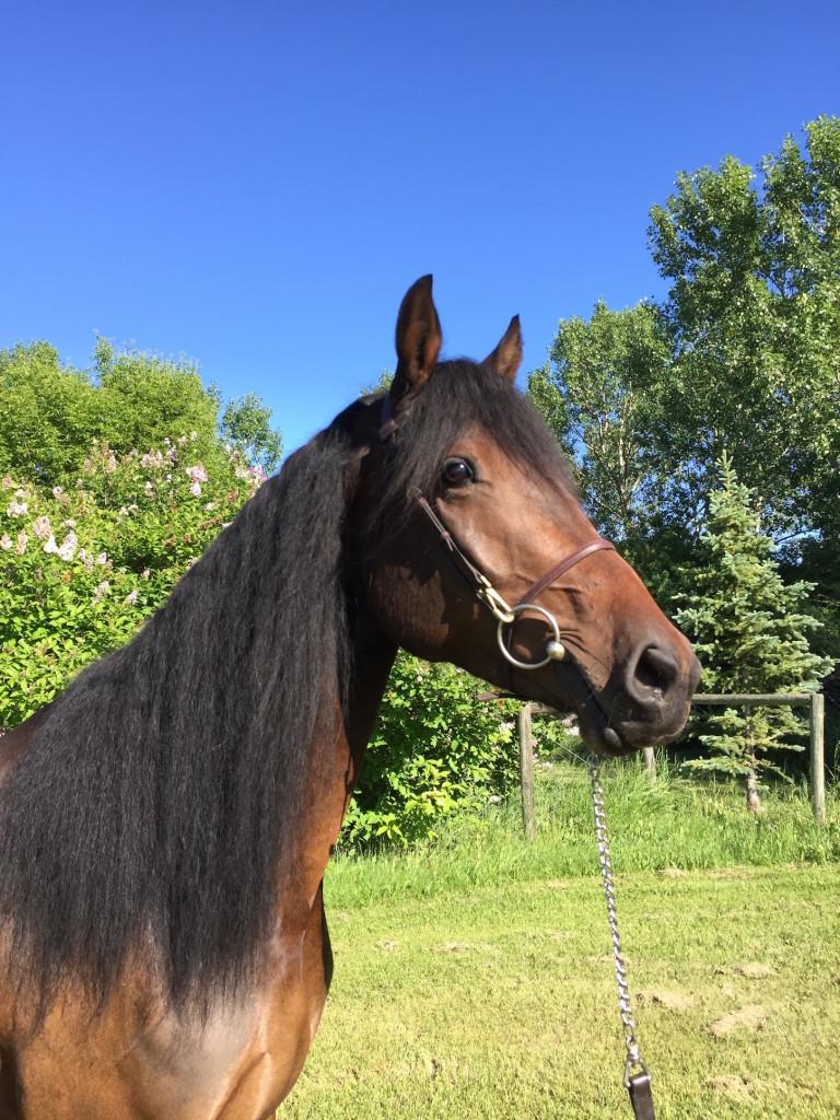 Friesian Sport Horse Belle head up close